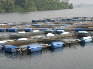 Fish farming on the lake